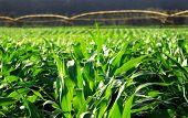 maize field with beautiful light