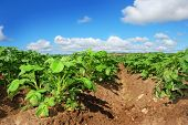 Healthy Young Potato plants in a big field against beautiful blue sky