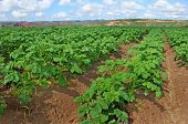 Potato field with young potato plants