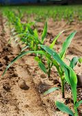 Closeup of a row of small maize plants