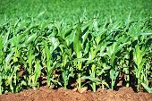 Young maize crop