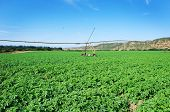 a Green potato field with a modern irrigation system