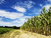 Maize crop with beautiful sky