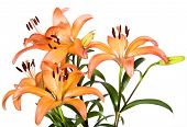 Orange tiger lilies on a white background with space for text