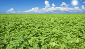 Beautiful healthy green potato field with sky and sun