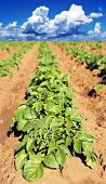 a Potato field with young potato plants - shallow depth of field with the focus on the top leaves of
