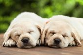 Cute labrador puppies sleeping on wooden deck - on green foliage background, close up poster