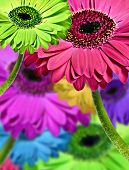Abstract background of colorful gerbera daisies