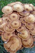 Ringless Honey Fungus poster