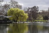 stock photo of weeping willow tree  - Springtime in St - JPG