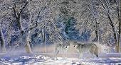 Wolves of Yellowstone - two wolves stand in a misty snowy treeline near Yellowstone National Park, W