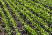 Row Of Wheat On Land