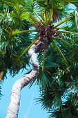 Sugar Palm Tree, Palm Trees With Beautiful Bent Stems,toddy Palm,palm Tree On Field poster