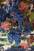 Wine Grapes At Harvest Time