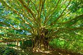 Baum des Lebens, erstaunlich Banyan-Baum