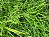 Long Lush Grass