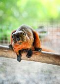 Rat Or Red Squirrel Brown Fur In Cage In The Wildlife Sanctuary For Waiting Release Wildlife To Natu poster