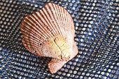 Fan-Shaped Shell