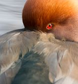 Red Crested Pochard (netta Rufina) Close-up
