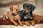 image of miniature pinscher  - The Miniature Pinscher puppies 2 months old - JPG