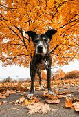 a senior pit bull in a park during fall