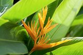 Beautiful Bird of Paradise flower known as Strelitzia