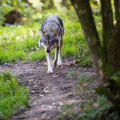 Cinza/Eurasian Lobo (Canis lupus)