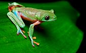 pic of nocturnal animal  - tropical frog on leaf in rain forest of Costa Rica tree frog Agalychnis annae is a beautiful colorful treefrog and nocturnal amphibian - JPG
