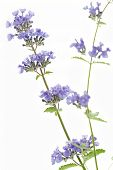 stock photo of catnip  - Catnip flowers  - JPG
