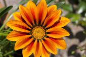 Midday flower Gazania or iceplant flower