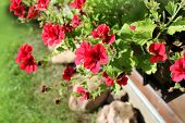 pelargonium flowers in a windowbox
