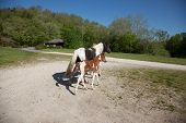 picture of pinto  - A pinto mare with her pinto foal - JPG