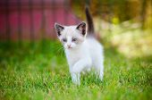 picture of siamese  - beautiful siamese kitten outdoors on the grass