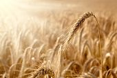 Golden Ear In A Wheat Field