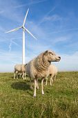 Sheep At A Dike Along A Row Of Wind Turbines