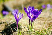 Lila Krokus Blüte auf der Frühlingswiese. Karpaten, Ukraine, Europa. Beautywelt.