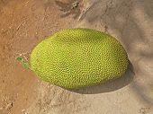 Jackfruit Artocarpus heterophyllus Lam Moraceae