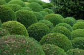 Boxwood  Green garden balls in France