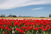 Springtime In Skagit Valley