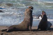 stock photo of mating animal  - Elephant seals fight during mating season near San Simeon California USA - JPG