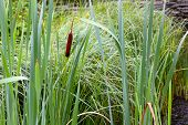 stock photo of bulrushes  - Cattails and Reeds at sunset on the shore of a lake or river - JPG