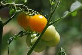 Orange Tomatoes Ripening On The Vine