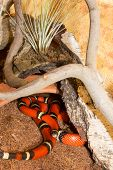 Red Sinaloan Milk Snake In A Terrarium