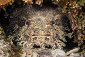A toadfish in a crevice on a reef in Roatan Honduras.