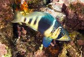 pic of hamlet  - A barred hamlet swimming in the waters of Roatan Honduras - JPG