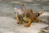 An iguana walks freely in the wild terrain of Roatan Honduras