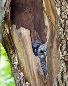 Barred Owl, Juvenile