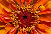 single flower of orange zinnia - close up