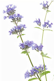 picture of catnip  - Catnip flowers  - JPG