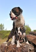 Mother And Puppy Boxer